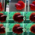 """(ขายแล้วครับ)""""คัดเกรด""""ปลากัดครีบยาว-Halfmoon Super Red"""