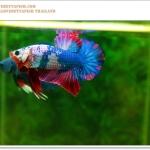 คัดเกรดปลากัดครีบสั้น-Halfmoon Plakat Fancy Nice Colors Dragon Quality Grade