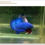 คัดเกรดปลากัดครีบสั้น-Halfmoon Plakat Super Blue Quality
