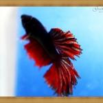 ปลากัดครีบยาว - Fancy Halfmoon