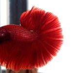 ปลากัดครีบยาวหางพระจันทร์ครึ่งดวง - Halfmoon Premium Quality Grade Super Red