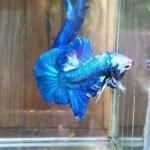 ปลากัดคัดเกรดครีบสั้น - Halfmoon Plakad Blue Dragon Quality Grade