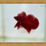 (ขายแล้วครับ)ปลากัดครีบสั้น - SUPER RED3
