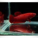 ปลากัดสีแดงกับการทำปลากัดสี