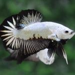มังกรดำปลากัดคัดเกรดครีบสั้น - Halfmoon Plakad Black Dragon Premium Quality Grade AAA+