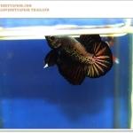 คัดเกรดปลากัดครีบสั้น-Halfmoon Plakat Black Copper