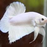 วิธีการทำปลากัดสวยงามให้สายพันธุ์คงที่