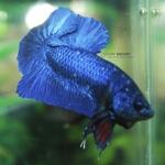 (ขายแล้วครับ)ปลากัดครีบสั้น - Halfmoon Plakats SUPER BLUE
