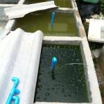 สอนวิธีการทำ น้ำเขียว และการเพาะ ไรแดง ของ Lovebettafish Thaialnd