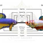 อวัยวะ โครงสร้างมาตรฐานปลากัดสวยงาม
