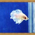 ปลากัดครีบสั้นหางคู่ - Fancy Halfmoon Plakats Double Tails044
