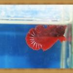 (ขายแล้วครับ)ปลากัดครีบสั้น - Halfmoon Plakats SUPER RED