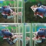 """(ขายแล้วครับ)""""คัดเกรด""""ปลากัดครีบสั้นหางคู่-Halfmoon Plakats Double tails Super Fancy"""