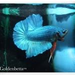 ที่มาของปลากัดสีหยกเขียว หรือเขียวหยก