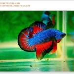 สีน้ำเงิน - แดงส้ม ปลากัดไทยสีพื้นๆ แต่ตัดกันลงตัว