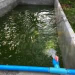 วิธีการทำน้ำเขียวสำหรับเลี้ยงไรแดง และการเพาะขยายพันธุ์ไรแดง