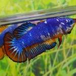 คัดเกรดปลากัดครีบสั้นเพศเมีย- Female Halfmoon Plakat Fancy Dragon Quality Grade