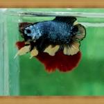 ปลากัดครีบสั้นหางคู่ - Fancy Halfmoon Plakats Double Tails