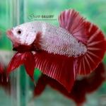 (ขายแล้วครับ)ปลากัดครีบสั้น - Halfmoon Plakats RED DRAGON1