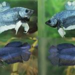 (ขายแล้วครับ)ปลากัดครีบสั้น - Halfmoon Plakats มาเป็นคู่3