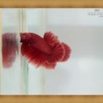 (ขายแล้วครับ)SUPER RED2