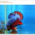 คัดเกรดปลากัดครีบสั้น-Halfmoon Plakat Fancy Blue Red Dragon