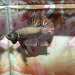 BLACK COPPER ปลากัดสีที่เป็นอมตะ
