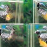 (ขายแล้วครับ)ปลากัดครีบยาวหางมงกุฏ-Crowntails Fancy Copper