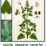เมล็ดพันธุ์ แคทนิป พร้อมปลูก (Catnip)แพค 100 เมล็ด