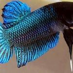 ปลากัดสายพันธุ์ ปลากัดแปดริ้ว