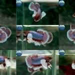 """(ขายแล้วครับ)Big Ear หูช้าง """"คัดเกรด""""ปลากัดครีบสั้น-Halfmoon Plakats Big Ear Lavender"""