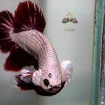 สิ่งที่อาจจะทำให้ปลากัดเกิดความเครียด