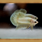 (ขายแล้วครับ)ปลากัดครีบสั้น - Halfmoon Plakats GOLD