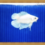 ปลากัดครีบสั้นหางคู่ - Fancy Halfmoon Plakats Double Tails022