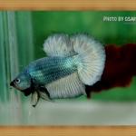 ปลากัดครีบสั้น - Halfmoon Plakats Metalic