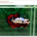 คัดเกรดปลากัดครีบสั้น-Halfmoon Plakat Fancy Dragon
