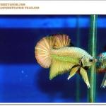 สีมงคล....... ปลากัดเงินปลากัดทอง ในตัวเดียวกัน