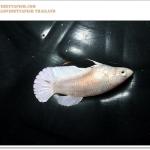 คัดเกรดปลากัดครีบสั้นเพศเมีย-Female Halfmoon Plakat White Platinum Quality Grade