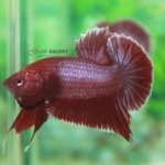 (ขายแล้วครับ)ปลากัดครีบสั้น - Halfmoon Plakats RED2