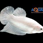 ผลประกวดปลากัดสวยงาม โดย สมาคมอนุรักษ์และพัฒนาปลากัดสยาม ในงาน SmartHeart presents Pet Variety ตอนเด็ดสะระตี่ปี 2 ในวันที่ 23-26 ม.ค. 2557 อาคาร 5 อิมแพ็ค เมืองทองธานี