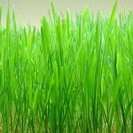 สรรพคุณของต้นอ่อนข้าวสาลี Wheatgrass