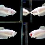 """(ขายแล้วครับ)""""คัดเกรด""""ปลากัดครีบสั้นตัวเมีย-Female Halfmoon Plakats White Platinum"""