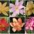 บัวดินดอกซ้อน