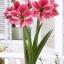amaryllis gervase/เจอวาส thumbnail 1