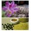Curcuma Comosa Roxb., 350 Mg./Pills. thumbnail 2