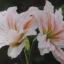 ว่านสี่ทิศฟิลาเดลเฟีย/philadelphia thumbnail 3