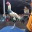 เจ้าแก้วลอดฟ้าไก่พม่าลีลา thumbnail 1