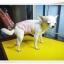 โอบิสำหรับน้องหมาผู้ชายเบอร์ 1 thumbnail 3