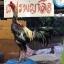 เจ้าสินเจริญทรัพย์ 122 ไก่ชนพม่าแข้งโหด thumbnail 1
