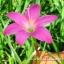 บัวดินพันธุ์ FadJar Pink(10หัว) thumbnail 1